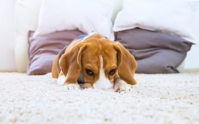 Oops! Three Ways to Manage Your Pets' Carpet Stains